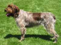 Wire-haired Pointing Griffon - Breeders