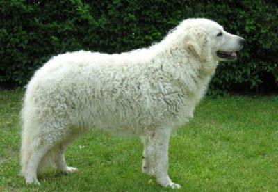 Kuvasz Dog - Breeders