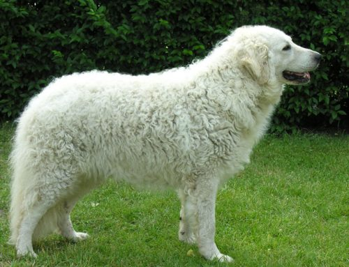 Kuvasz Dog – Breeders, Puppies and Breed Information