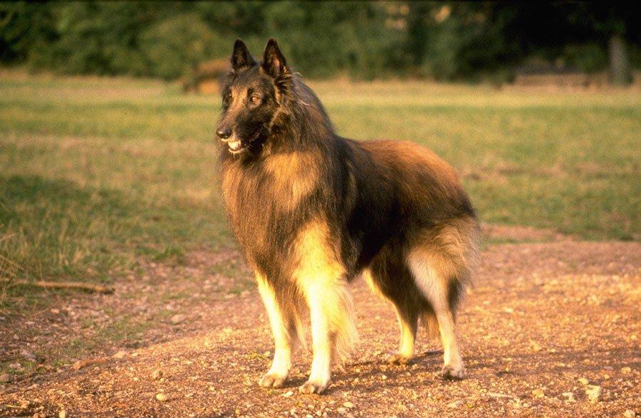 Laekenois Belgian Shepherd - Breeders