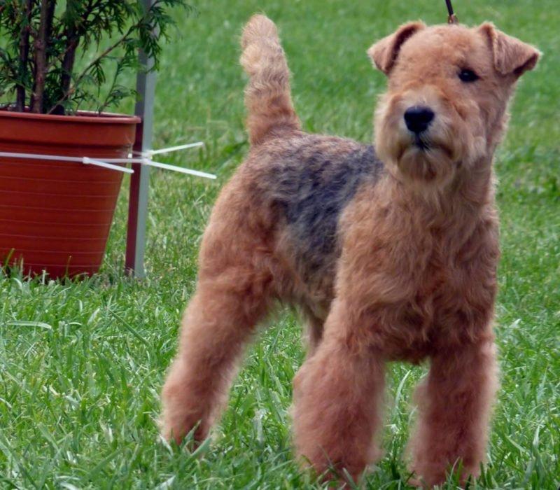 Lakeland Terrier - Breeders