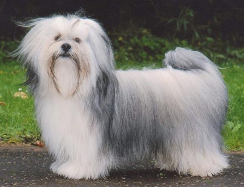 Lhasa Apso – Breeders, Puppies and Breed Information