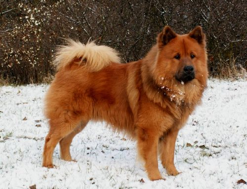 Long Haired Chow Chow – Breeders, Puppies and Breed Information