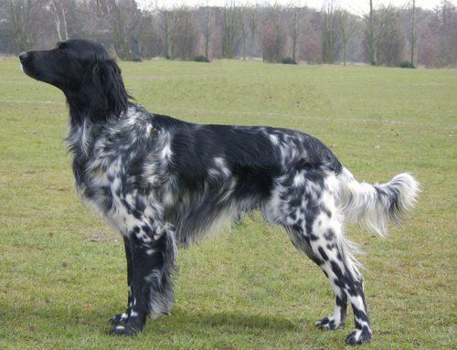 Munsterlander (large) – Breeders, Puppies and Breed Information