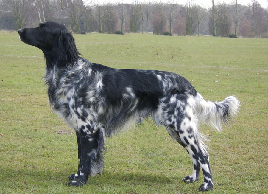Munsterlander (large) - Breeders
