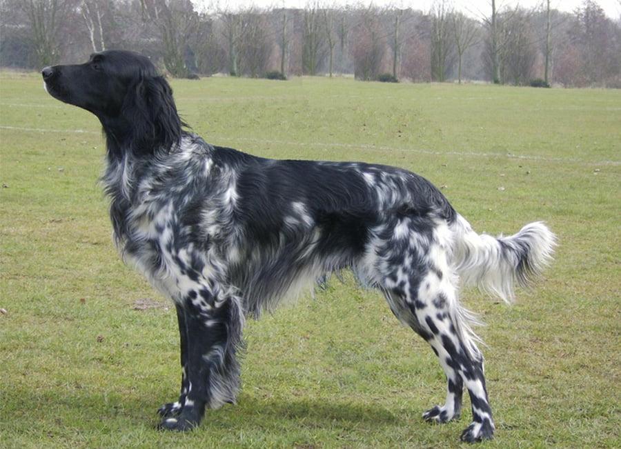 Munsterlander (large) - Breeders