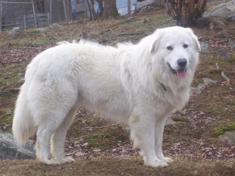 Maremma Sheepdog - Breeders