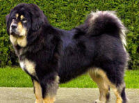 Tibetan Mastiff - Do-Khyi - Breeders