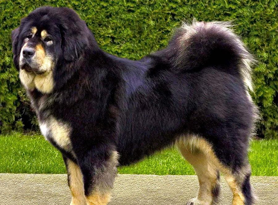 Tibetan Mastiff - Do-Khyi - Breeders