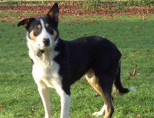 McNab  Collie – Breeders, Puppies and Breed Information