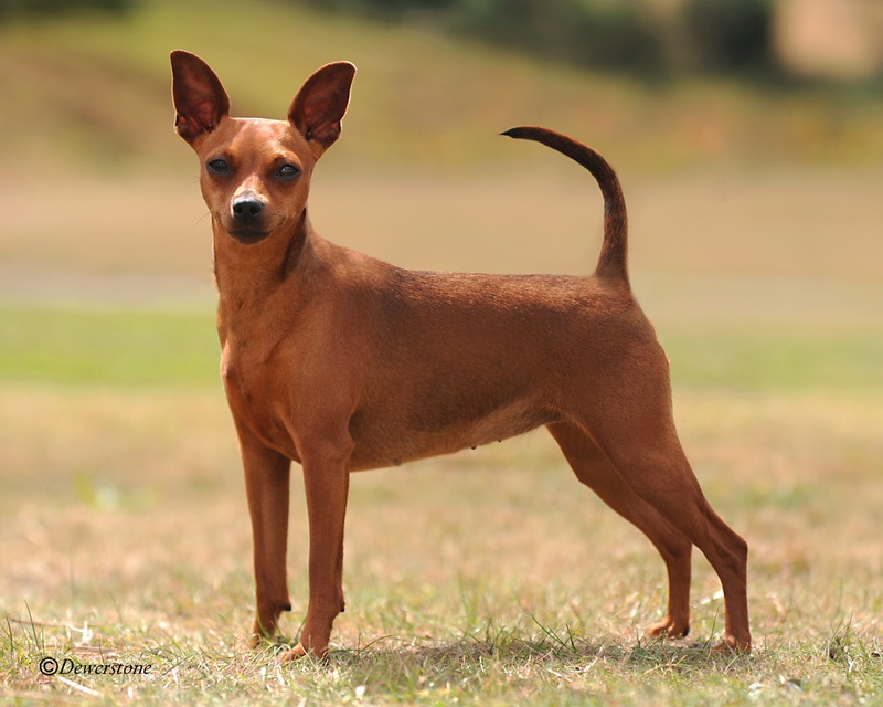 Miniature Pinscher - Breeders