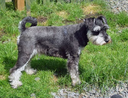 Miniature Schnauzer – Breeders, Puppies and Breed Information