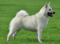 Norwegian Buhund - Breeders