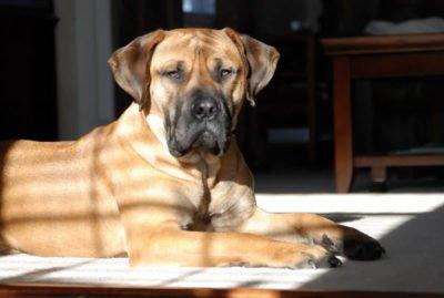 Nebolish Mastiff - Breeders