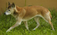 New Guinea Singing Dog - Breeders
