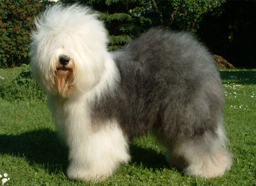 Old English Sheepdog – Breeders, Puppies and Breed Information
