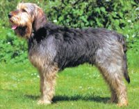 Otterhound - Breeders