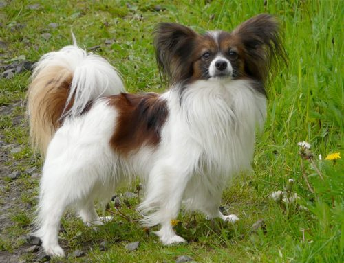 Papillon – Breeders, Puppies and Breed Information