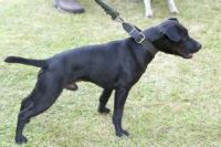 Patterdale Terrier - Breeders