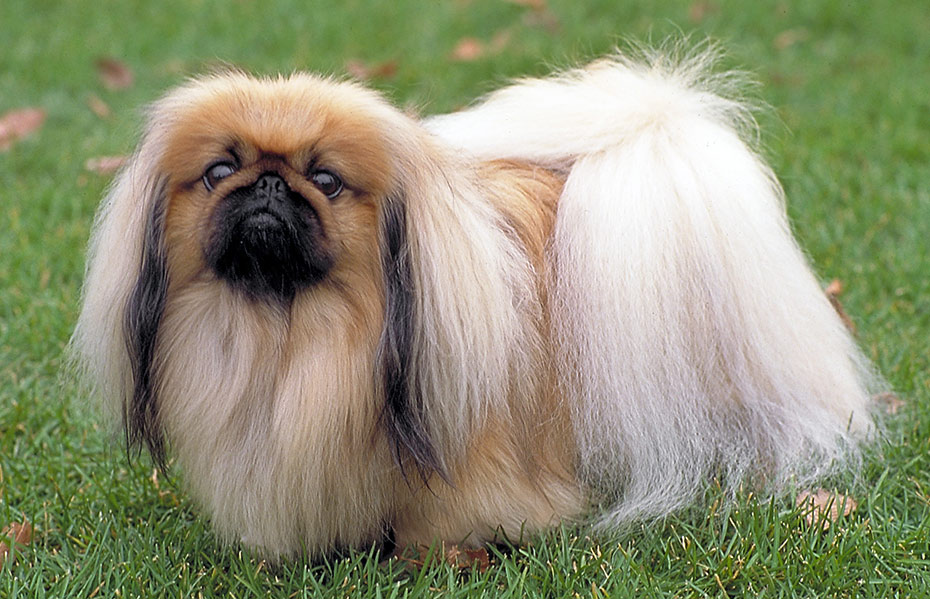 Pekingese – Breeders, Puppies and Breed Information