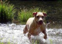 American Pit Bull Terrier - Breeders