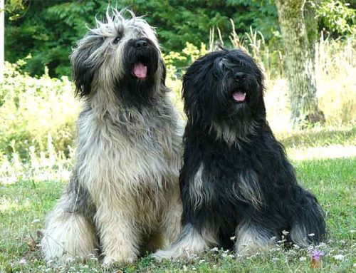 Portuguese Sheepdog – Breeders, Puppies and Breed Information