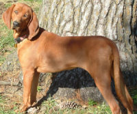 Redbone Coonhound - Breeders