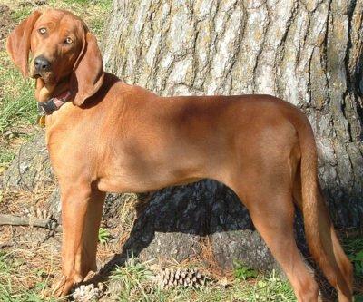 Redbone Coonhound - Breeders
