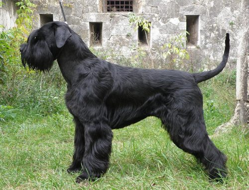 Standard Schnauzer – Breeders, Puppies and Breed Information