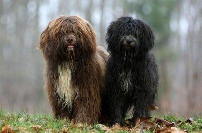 Schapendoes Dog - Breeders