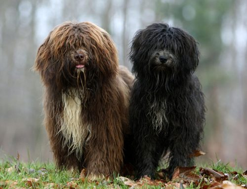 Schapendoes Dog – Breeders, Puppies and Breed Information