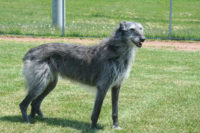 Scottish Deerhound - Breeders
