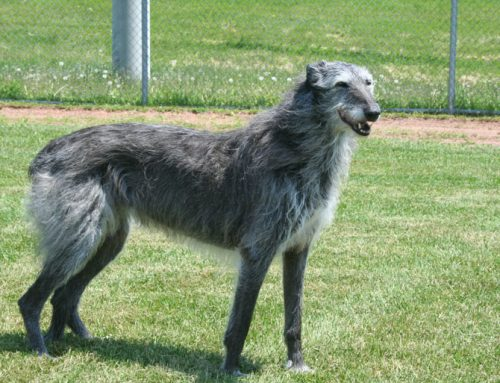 Scottish Deerhound – Breeders, Puppies and Breed Information