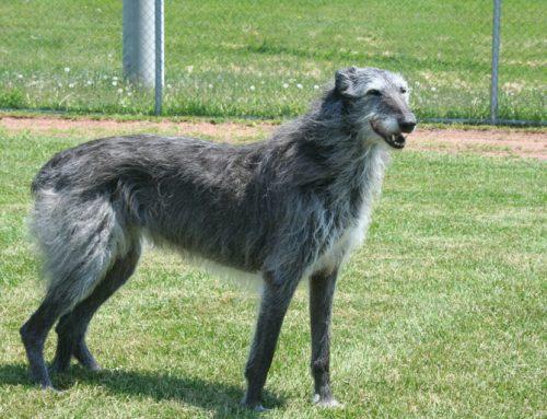 Scottish Deerhound – Breeders, Puppies and Breed Information