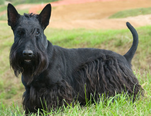 Scottish Terrier – Breeders, Puppies and Breed Information