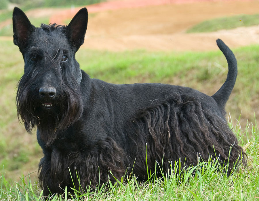 Scottish Terrier - Breeders