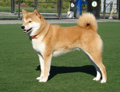Shiba Inu – Breeders, Puppies and Breed Information
