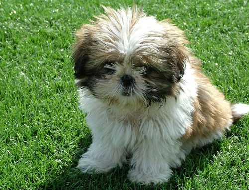 Shih Tzu – Breeders, Puppies and Breed Information