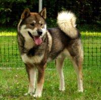 Shikoku Dog - Breeders