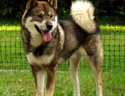 Shikoku Dog – Breeders, Puppies and Breed Information