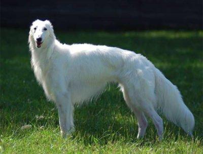 Silken Windhound - Breeders