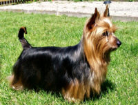 Silky Terrier - Breeders