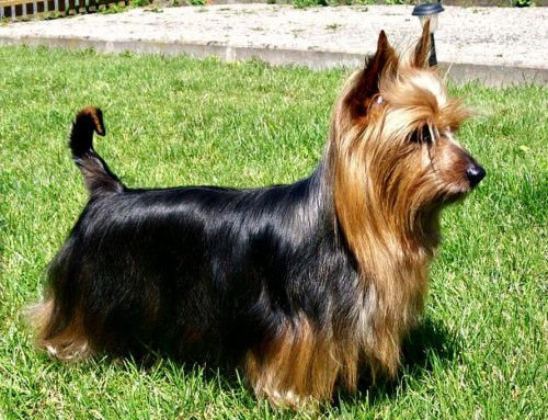 Silky Terrier – Breeders, Puppies and Breed Information