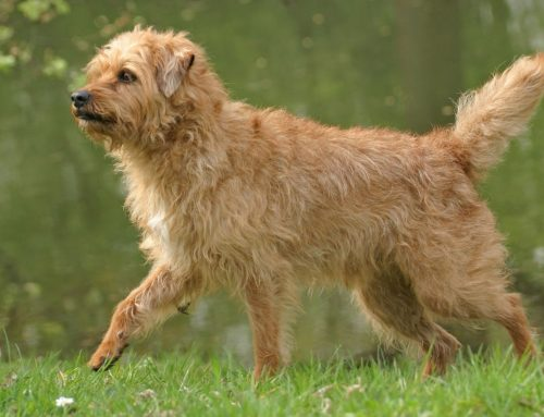 Dutch Smoushond – Breeders, Puppies and Breed Information