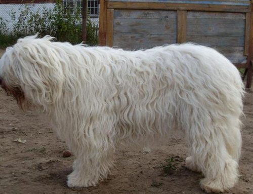 South Russian Ovcharka – Breeders, Puppies and Breed Information