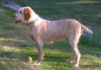 Spinone Italiano - Breeders