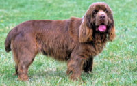 Sussex Spaniel - Breeders