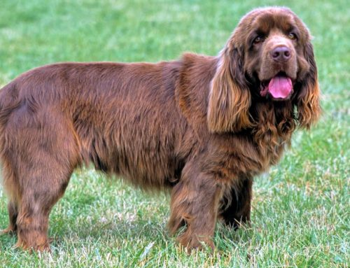 Sussex Spaniel – Breeders, Puppies and Breed Information
