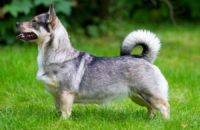 Swedish Vallhund - Breeders