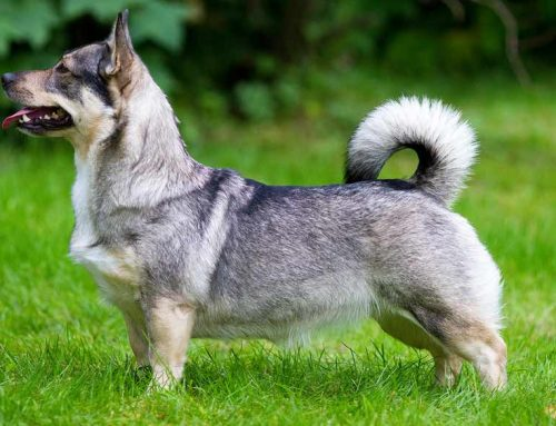 Swedish Vallhund – Breeders, Puppies and Breed Information